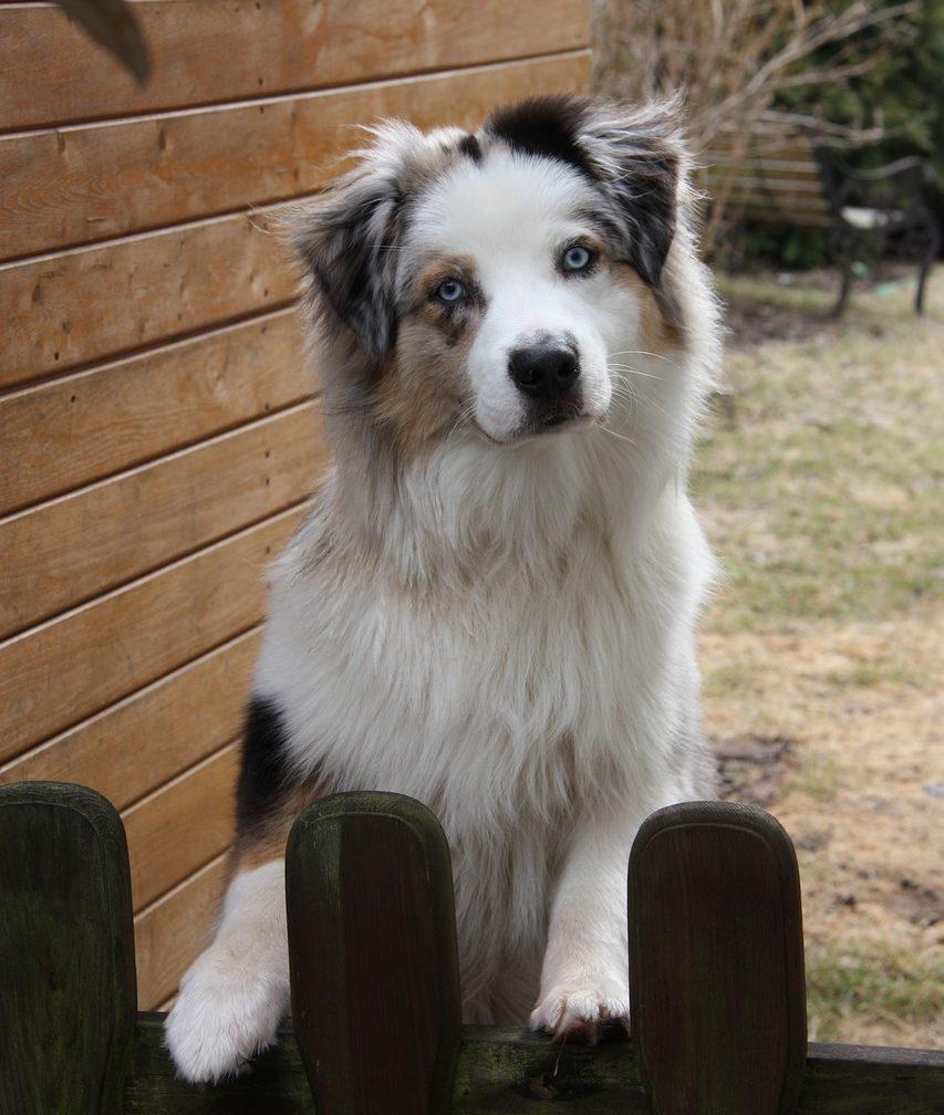 Hund-steht-am-Gartenzaun