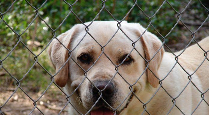 Hund-steht-hinter-Gartenzaun