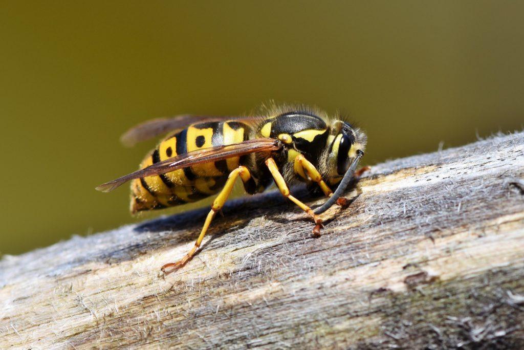 Wespe auf Holzstamm