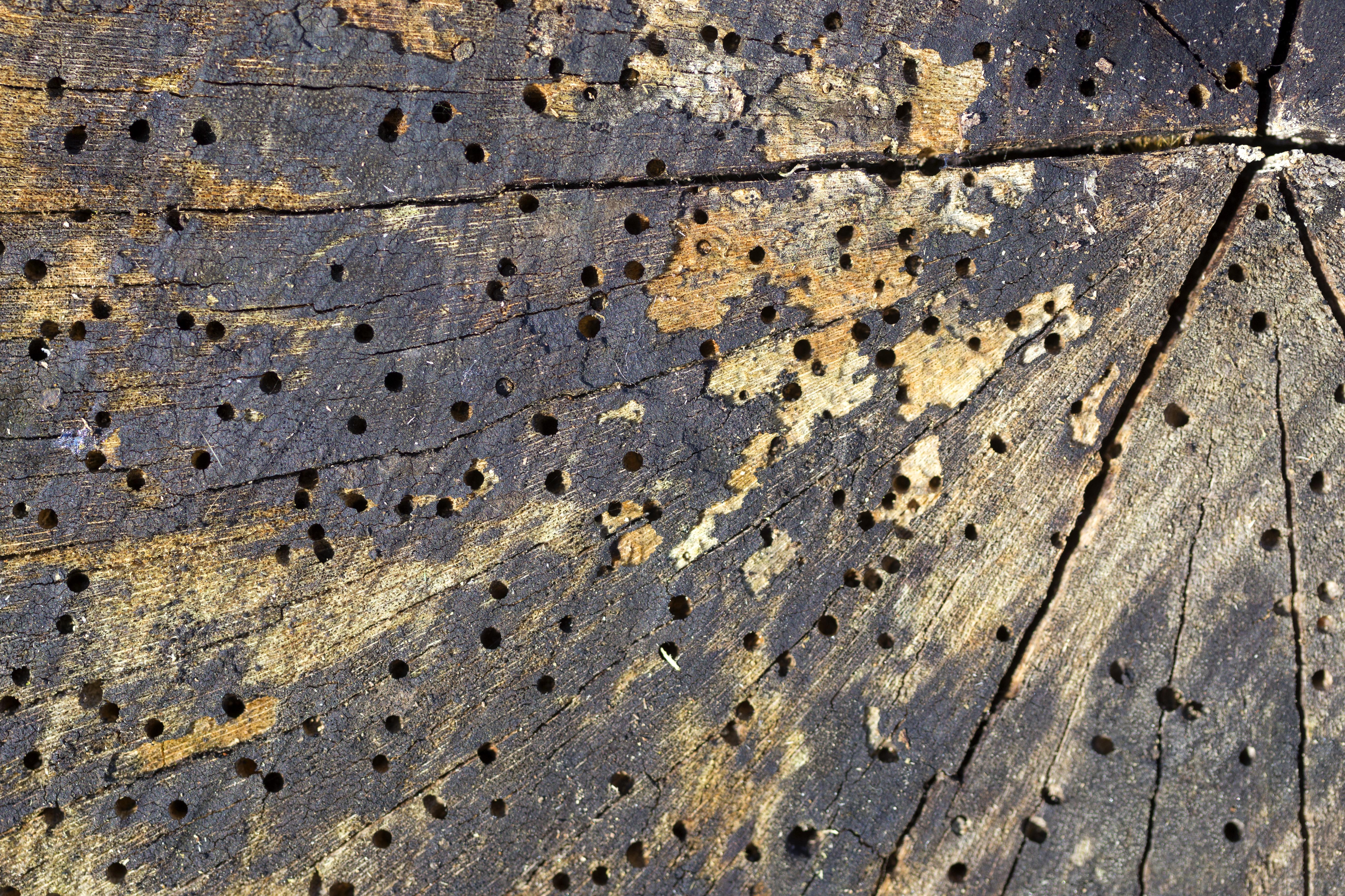 Holzwurmbefall