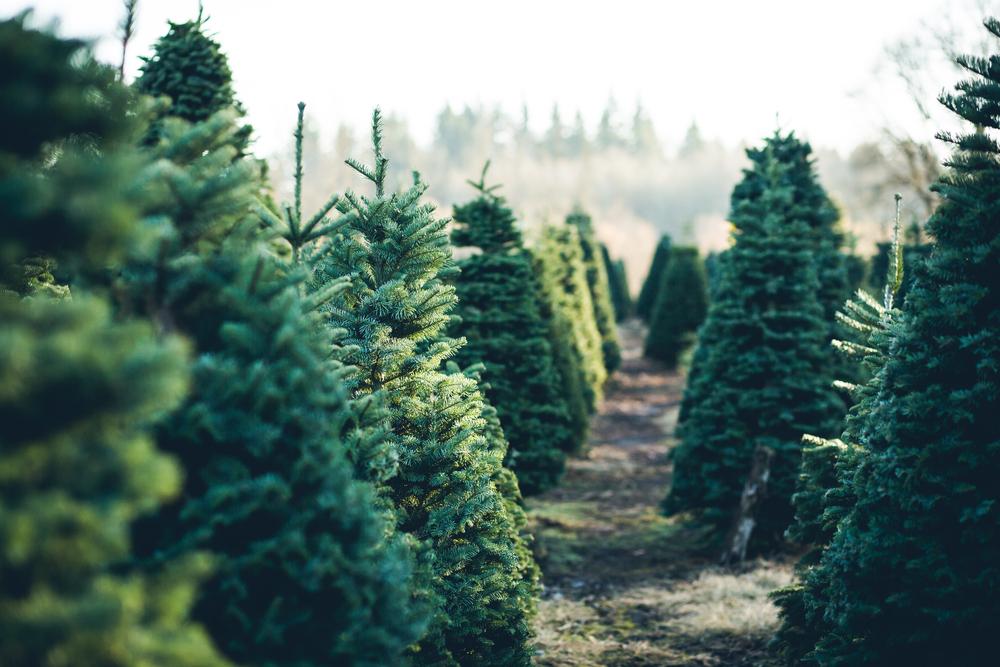 Weihnachtsbäume in einer Reihe auf dem Feld